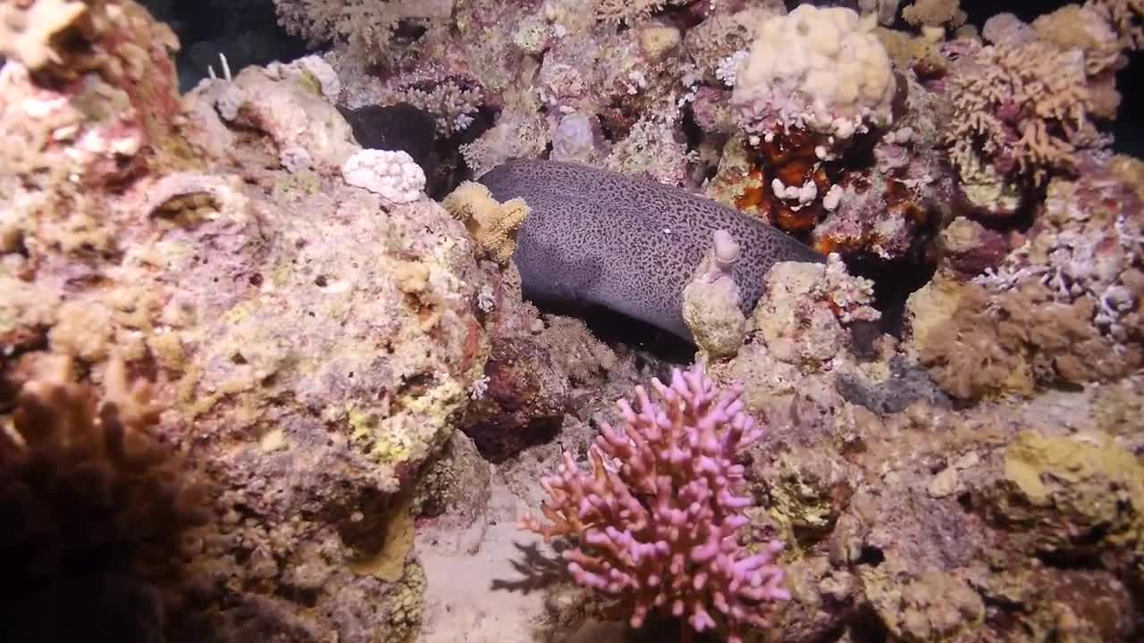 Watch free video A Giant Moray by Night in the Red Sea