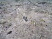 Watch free video Blue Clam Found in Ishigaki Island