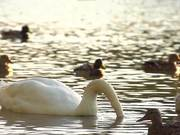 White Swan in Slow Motion