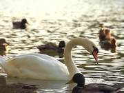 Watch free video White Swan in Slow Motion