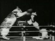 צפו בסרטון מצויר בחינם Professor Welton's Boxing Cats (1894)