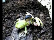 Beetle Attacking and Preying upon Tree Frog