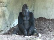 Mira dibujos animados gratis Gorilla I