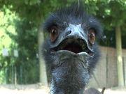Watch free video Emu