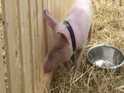 Watch free video Pigs