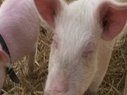 Watch free video Pigs