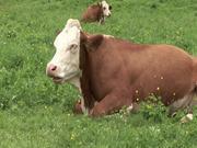 Mira dibujos animados gratis Cow