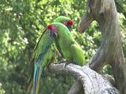 Watch free video Green Parrot