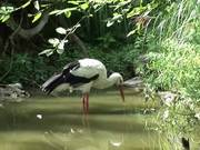 Watch free video A Stork