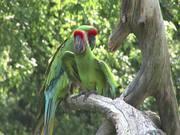 Watch free video Green Parrot
