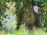 Watch free video Lion in Zoo
