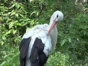 Watch free video A Stork