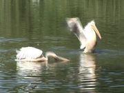 Watch free video Pelikane