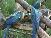 Watch free video Papageien Bleu