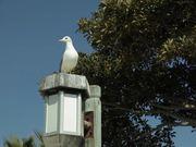 Watch free video Sea Gull