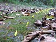 Watch free video Leafcutter Ants Transporting Yellow Flowers