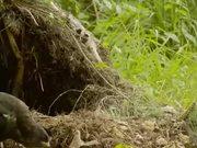 Watch free video Honey Buzzard Plundering a Nest