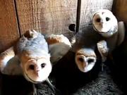 Watch free video Three Barn Owls Hissing and Clicking