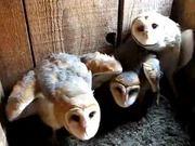 Mira dibujos animados gratis Three Barn Owls Hissing and Clicking