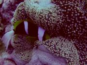 Watch free video Pretty Reefs of Palau