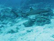 White Tip Reef Shark in Habitat
