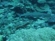 Mira dibujos animados gratis White Tip Reef Shark in Habitat