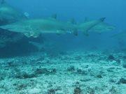Watch free video Grey Nurse Sharks at Flat Rock Сomes Сlose