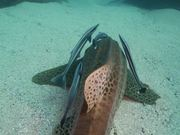 Watch free video Leopard Shark Hangs Out with Remoras Close Up