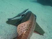 Mira dibujos animados gratis Leopard Shark Hangs Out with Remoras Close Up