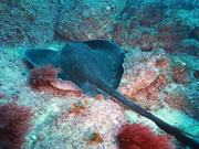 Watch free video Bull Ray Hanging Out Close Up