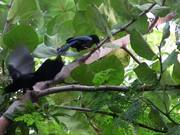 Watch free video Mexican Blue Jays Chattering