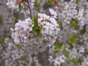 Watch free video Japanese Cherry Bloom