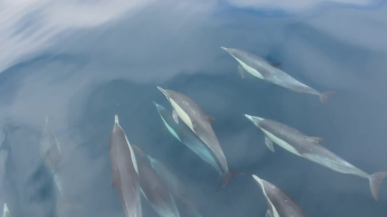 Watch free video Dolphins Swimming in Front of the Boat