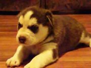 Watch free video Baby Husky Howls