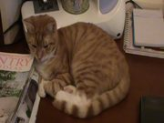 Watch free video A Ginger Cat Relaxing