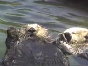 Watch free video Cute Otters Holding Hands