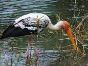 Watch free video A Painted Stork Wading For Something To Eat