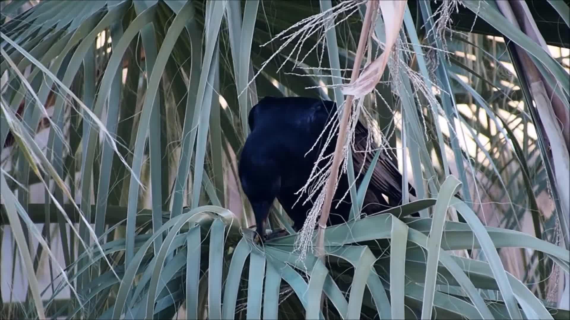 Watch free video Common Raven