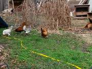 Watch free video Feeding Chickens