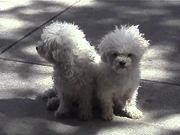 Watch free video Cute White Dogs Sitting On Sidewalk