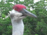 Watch free video The Big Funny Bird