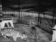 Watch free video Coney Island - Wild Tiger Act 1940