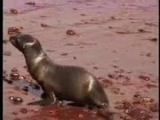 Watch free video Friendly Galapagos Sea Lions