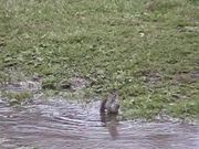 Watch free video Bird in Puddle