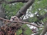 Watch free video Great Horned Owl Nest: Curious Owlets