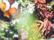 Watch free video Amphiprion Ocellaris