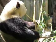 Watch free video The Panda