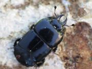 Watch free video Clown Beetles