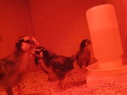 Watch free video The Little Chicks