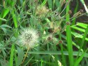 Watch free video Delicate Dandelion Swaying on the Wind